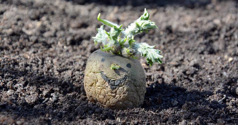 En kartoffels liv eller død